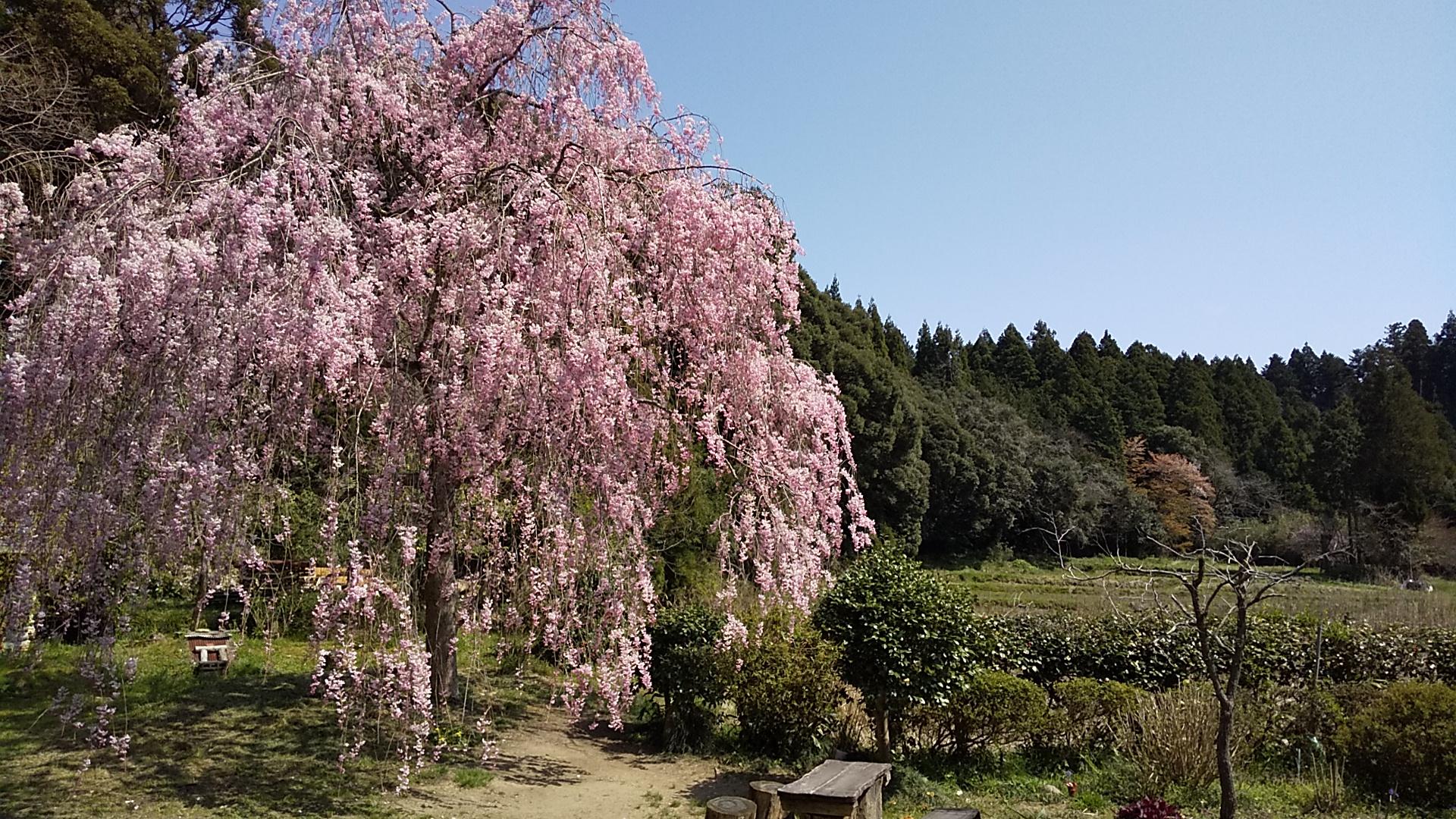 2020 枝垂れ桜